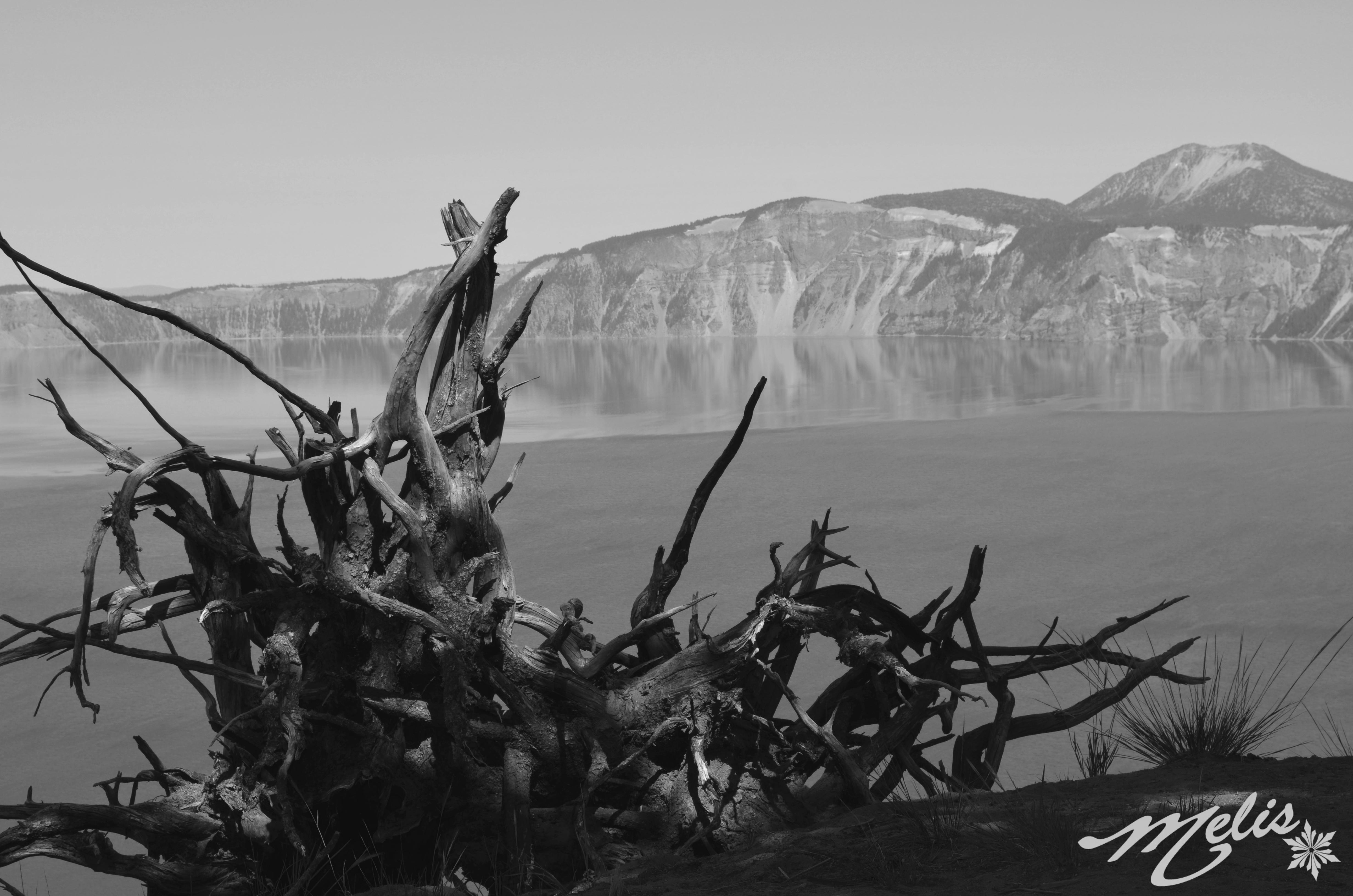 crater lake b & G tree root